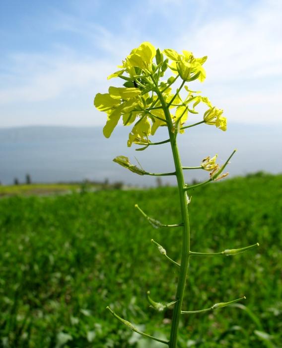 Mustard Tree Drawing Wild Sinapsis Arvensis Mustard